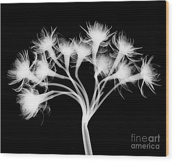 Pentaster Blossom X-ray Wood Print by Bert Myers