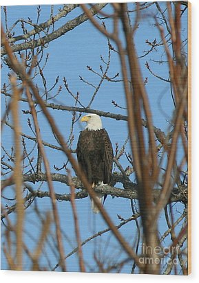 Perched American Bald Eagle  Wood Print by Neal Eslinger