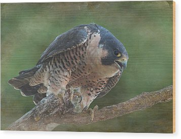 Peregrine Falcon Wood Print by Angie Vogel