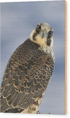 Peregrine Falcon Looking At You Wood Print by Bradford Martin