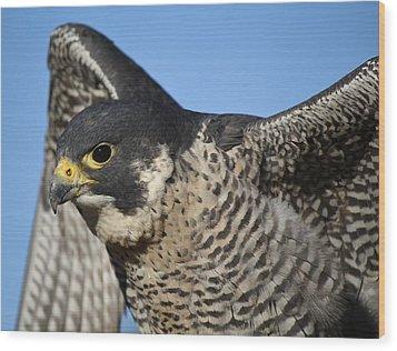 Peregrine Falcon Up Close Wood Print by Paulette Thomas
