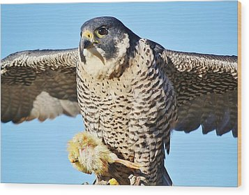 Peregrine Falcon With Chicken For Dinner Wood Print by Paulette Thomas