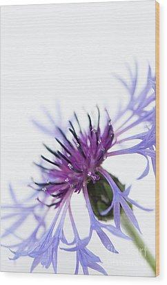 Perennial Cornflower Wood Print by Anne Gilbert