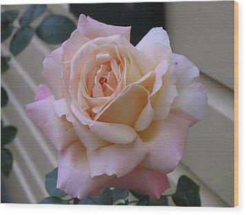 Perfect Blushing October Rose Wood Print