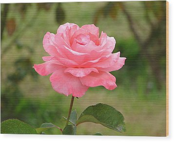 Wood Print featuring the photograph Perfect In Pink by Lew Davis