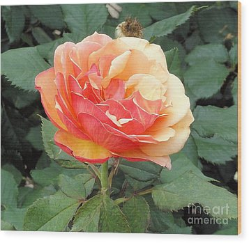 Wood Print featuring the photograph Perfect Rose by Janette Boyd