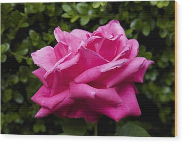 Perfect Rose Wood Print by Terry Horstman