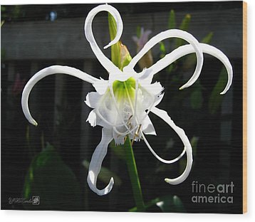 Peruvian Daffodil Named Advance Wood Print by J McCombie