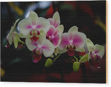 Phalaenopsis Pink Orchid Wood Print by Donald Chen
