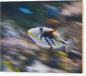 Picasso - Lagoon Triggerfish Rhinecanthus Aculeatus Wood Print by Jamie Pham