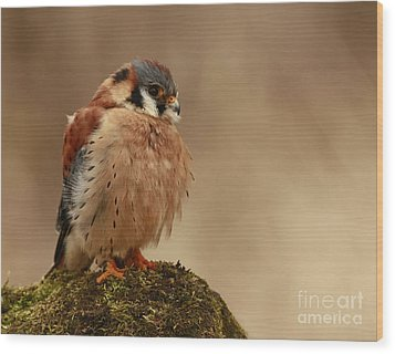 Picture Perfect American Kestrel  Wood Print by Inspired Nature Photography Fine Art Photography