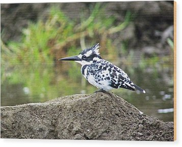 Pied Kingfisher Wood Print