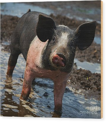 Pig In The Mud Wood Print