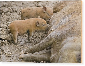 Pigs Reared For Pork On Tuvalu Wood Print by Ashley Cooper
