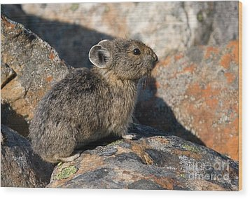 Wood Print featuring the photograph Pika And Lichen by Chris Scroggins
