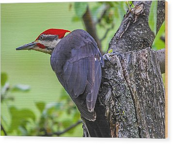 Pileated Stare Wood Print
