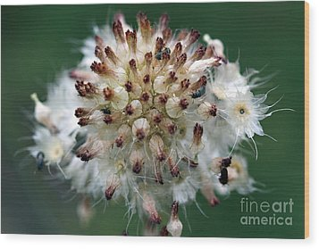 Pincushion Daisy Going To Seed Wood Print