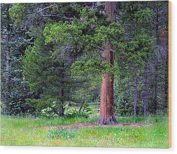 Pine At Rocky Mountain National Wood Print
