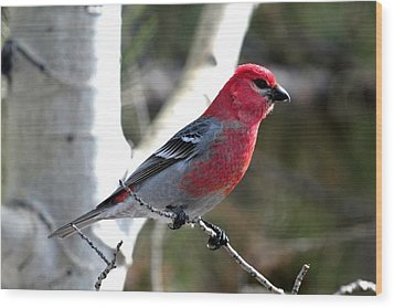 Pine Grosbeak Wood Print