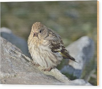 Pine Siskin Wood Print by Kathy King