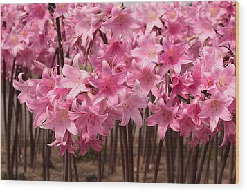 Pink Amaryllis Wood Print by Denice Breaux