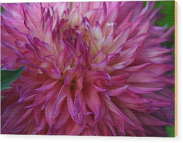 Pink And White Dahlia  Wood Print by Denyse Duhaime