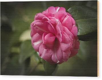 Wood Print featuring the photograph Pink And White Stripped Camellia by Penny Lisowski