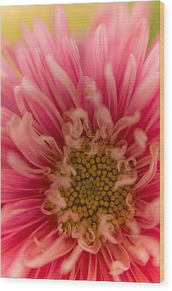 Pink Aster Wood Print by Benita Walker