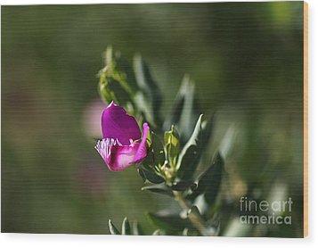 Pink Blush - Sweet Pea Bush  Wood Print by Joy Watson