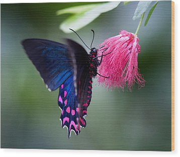 Wood Print featuring the photograph Pink Cattleheart Butterfly by Zoe Ferrie