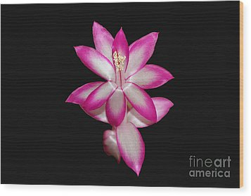 Pink Christmas Cactus On Black Wood Print