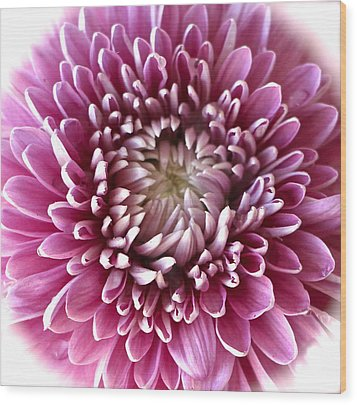 Pink Chrysanthemum Wood Print by Venetia Featherstone-Witty