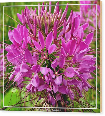 Pink Cleome Flower Wood Print by Rose Santuci-Sofranko