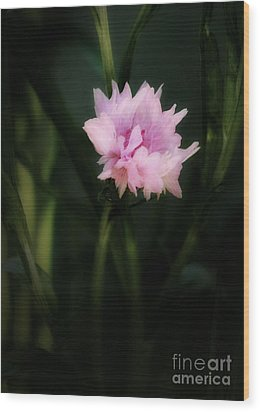 Wood Print featuring the photograph Pink Cornflower by Marjorie Imbeau