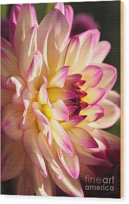 Pink Cream And Yellow Dahlia Wood Print by Olivia Hardwicke