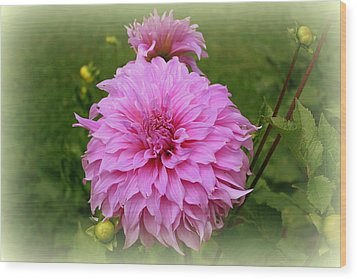 Pink Dahlia Wood Print by Donna Walsh