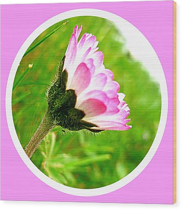 Pink Daisy  Wood Print by The Creative Minds Art and Photography