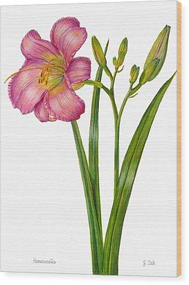 Pink Daylily - Hemerocallis Wood Print