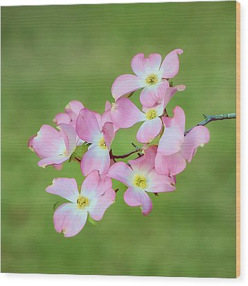 Pink Dogwood Watercolor Wood Print by Dan Holland