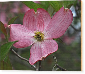 Wood Print featuring the photograph Pink Flowering Dogwood by William Tanneberger