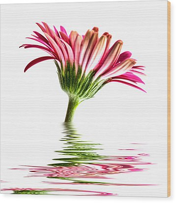 Pink Gerbera Flood 2 Wood Print by Steve Purnell