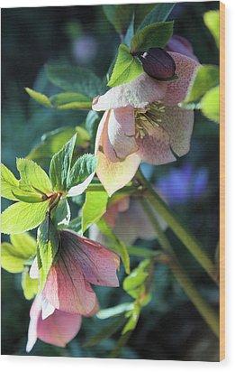 Pink Hellebore Wood Print by Gerry Bates