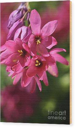 Pink Ixia Wood Print by Joy Watson