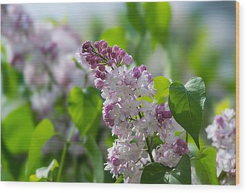Pink Lilacs And Green Leaves - Featured 3 Wood Print by Alexander Senin