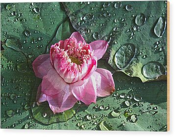 Pink Lotus Flower Wood Print by Venetia Featherstone-Witty