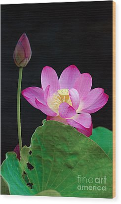 Pink Lotus Flowers Wood Print