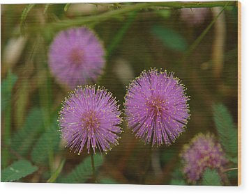 Pink Mimosa Wood Print by Kim Pate