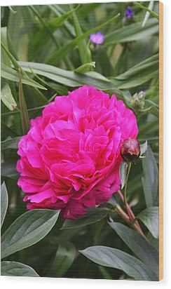 Pink Peony Wood Print by Vadim Levin