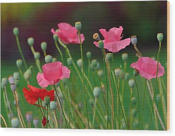 Pink Poppies Wood Print by Kathy King