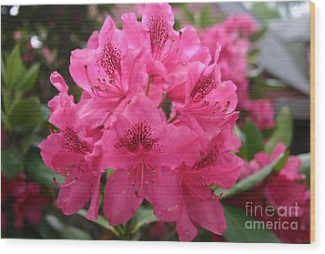 Pink Rhododendron Bloom Wood Print